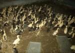 طرح کسب و کار پرورش اردک مادر