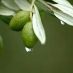 طرح توجیهی چای برگ درخت زیتون