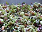 طرح توجیهی تولید جوانه خوراکی از حبوبات